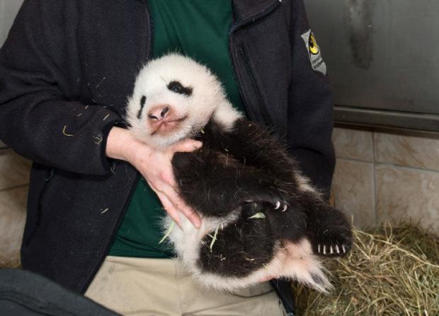 Am kommenden Donnerstag wird der Pandabub drei Monate alt.