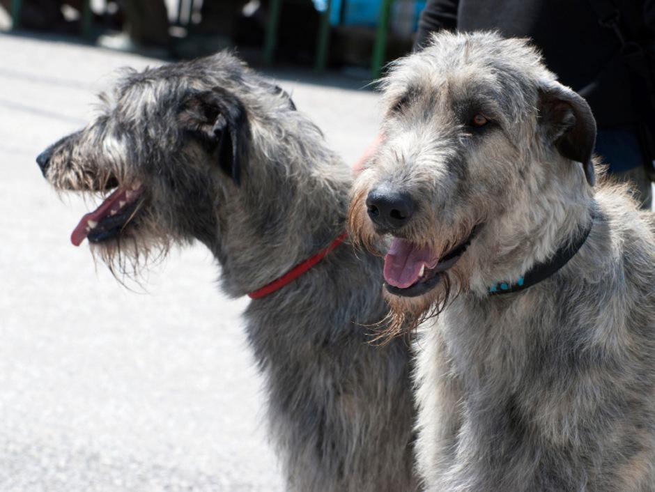 Irische Wolfshunde reichen Menschen bis oder sogar über die Hüfte. Barbara Harm hielt sich ein Weibchen und einen Rüden. Nun hat sie einen kleinen Mischlingshund.