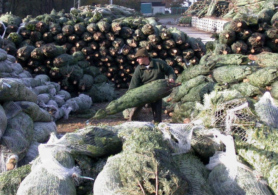 Derzeit warten wieder Tausende abgepackte Christbäume auf Käufer, die sie mit nach Hause nehmen.