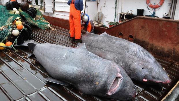 Die Forscher fingen bei mehreren Expeditionen insgesamt 28 Grönlandhaie, um das Leben der mysteriösen Meeresräuber zu untersuchen..
