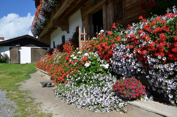 Den Eingang in den Kalshof in Kirchberg säumen zahlreiche rote Petunien und weiße Geranien.