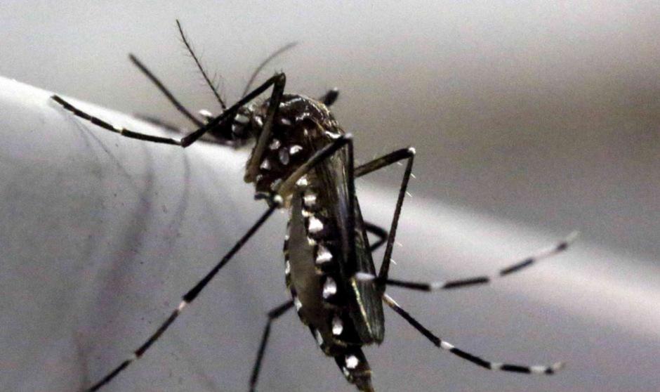 Hauptüberträgerin des Zika-Virus ist die weiß-gepunktete Tigermücke.