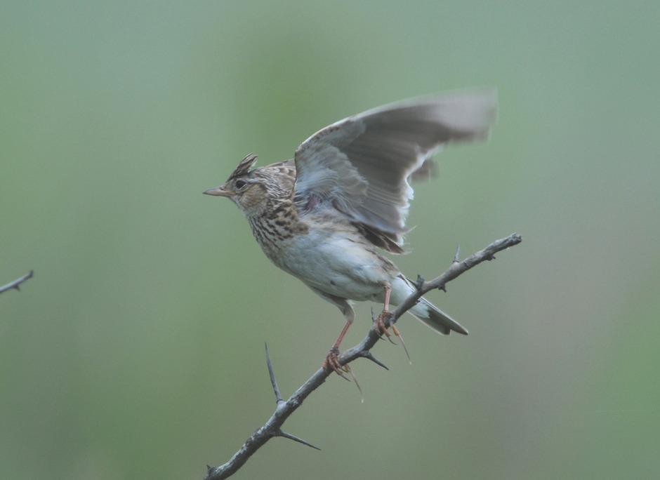 Wiesenvögel sind von moderner Landwirtschaft bedroht.