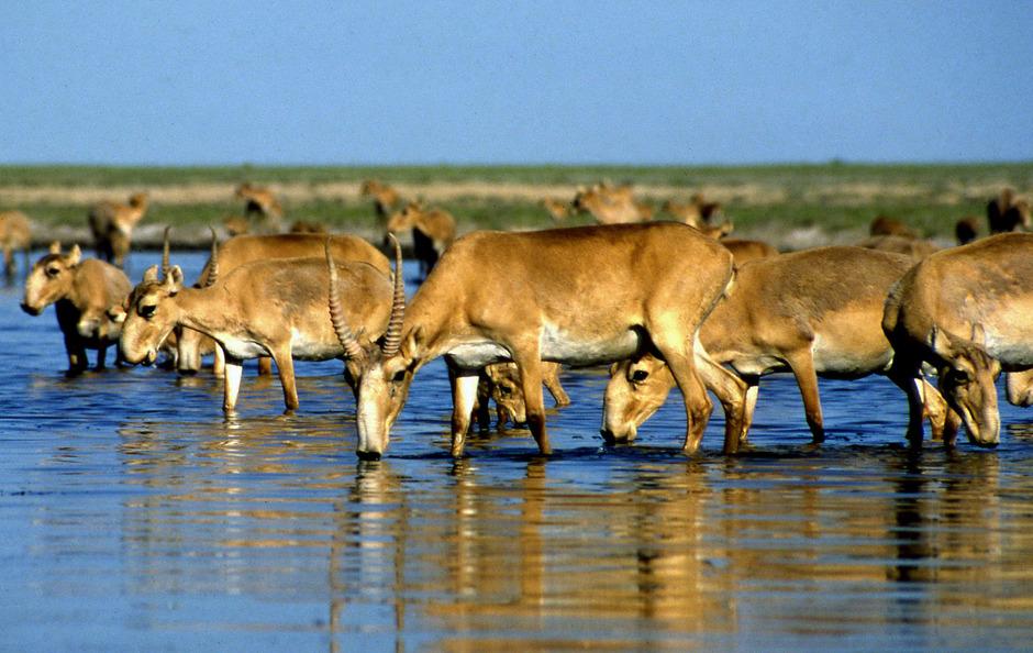 Die Saiga-Antilopen sind vom Aussterben bedroht.