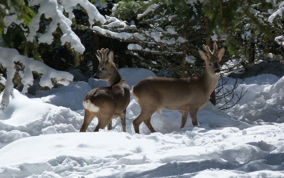 Rehwild ist das am häufigsten bejagte Wild in Osttirol. Knapp 3000 Tiere waren auf der Abschussliste, erfüllt wurden 95,6 Prozent.