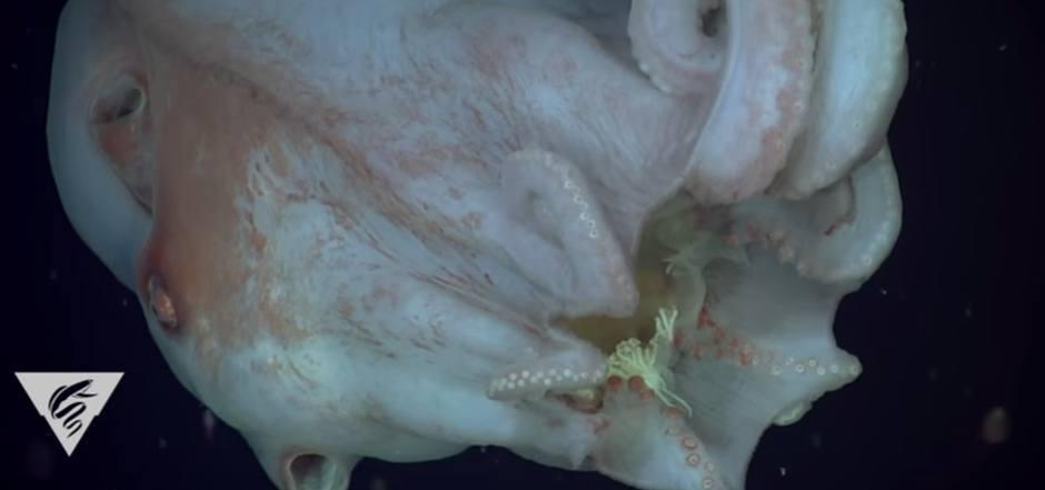 Die Forscher filmten einen Kraken, der eine Qualle in seinen Fangarmen hielt.