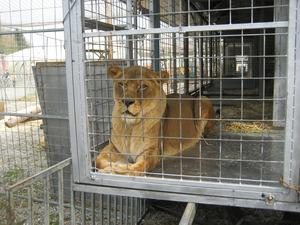 Ein Leben im Käfig: Zirkustiere verbringen den Großteil ihres Lebens in engen Käfigen.