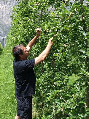 Die Frostauswirkungen sind auch sortenspezifisch: Hier findet Rudi Wammes (o.) einen Apfelbaum, der recht zufriedenstellend aussieht.