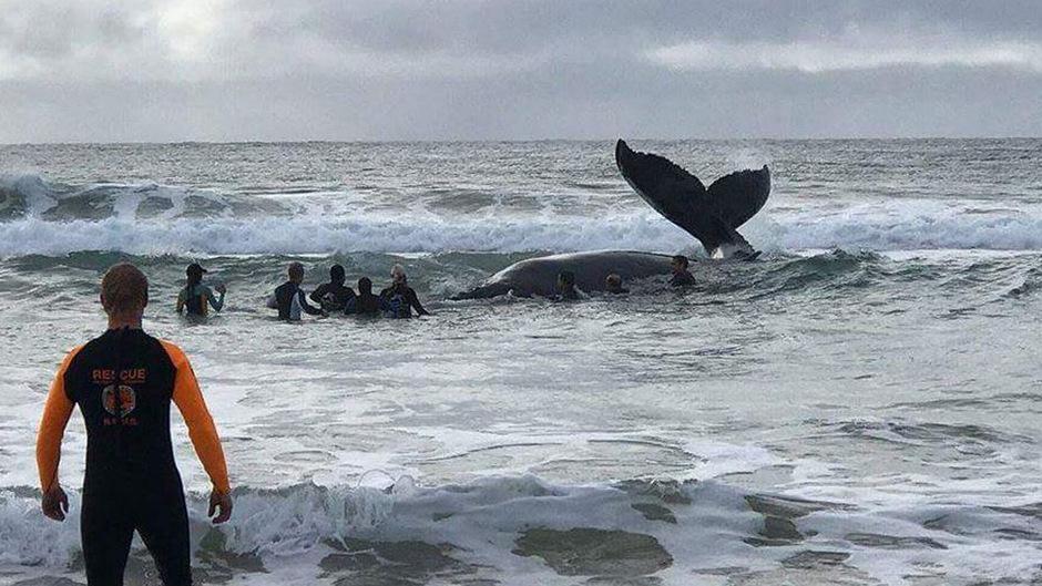 Tierschützer versuchten, den Buckelwal mit genügend Feuchtigkeit zu versorgen - vergebens.