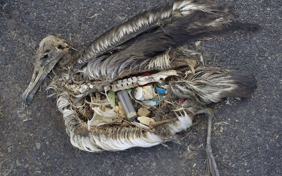 Ein toter Albatros mit Plastik im Magen.