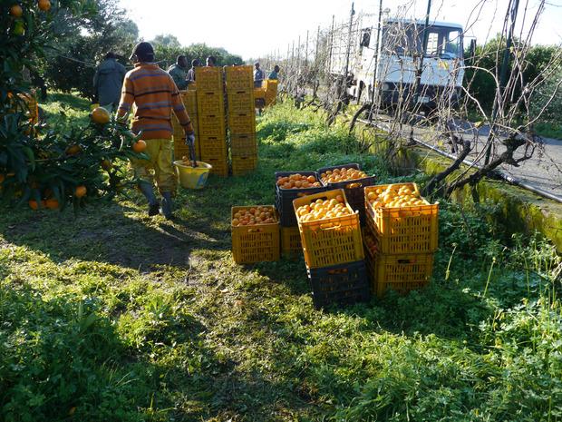 Afrikanische Arbeitskräfte bei der Orangenernte in Kalabrien (2016).