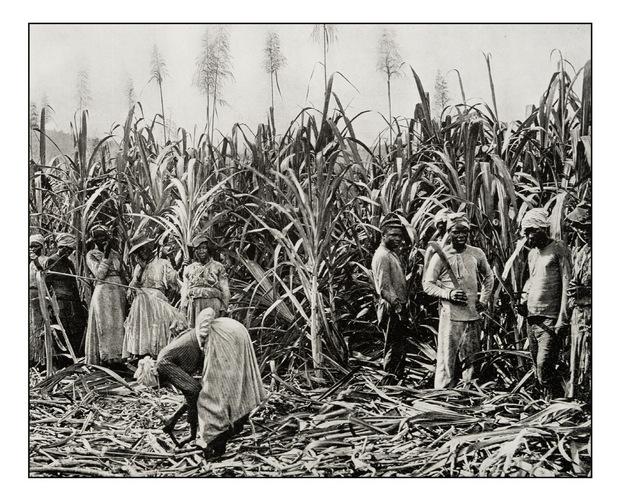 Afrikanische Sklaven beim Zuckerrohrschneiden auf Jamaika  (undatierte historische Darstellung).