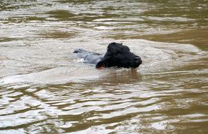 Eine Kuh schwimmt durch die Wassermassen.