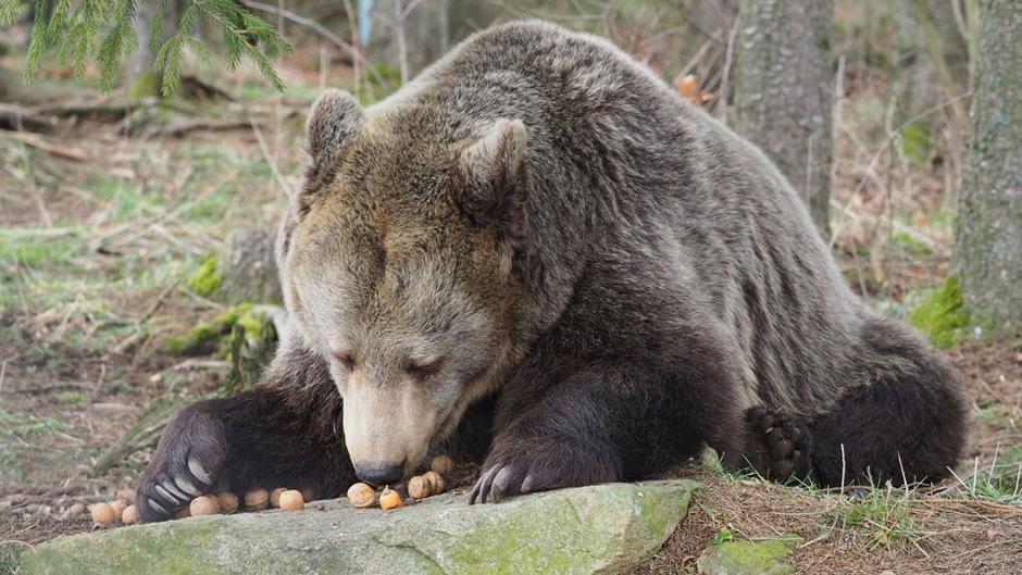 Die sieben Bären der Auffangstation in Arbesbach sind derzeit damit beschäftigt, sich mit Nüssen einen Winterspeck anzufuttern.