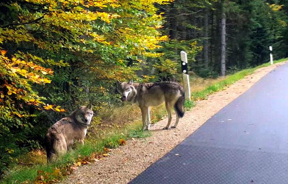 Einer der sechs geflüchteten Wölfe wurde kurz nach dem Ausbruch von einem Regionalzug erfasst, zwei der Tiere wurden erschossen. Ein weiterer konnte lebend gefangen werden.
