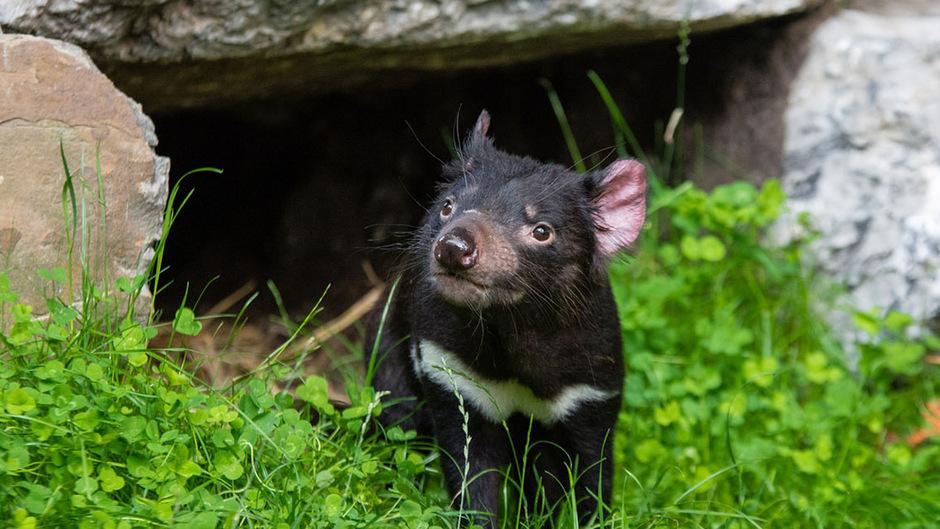 Der Tasmanische Teufel ist vom Aussterben bedroht.