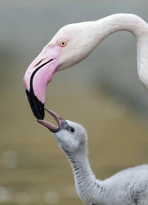 Die Eltern füttern die Jungtiere noch aus ihrem Kropf.