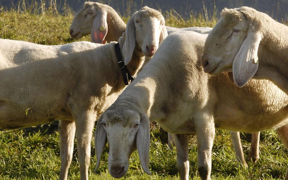 Die Hälfte aller Tiroler Schafe sind Tiroler Bergschafe.