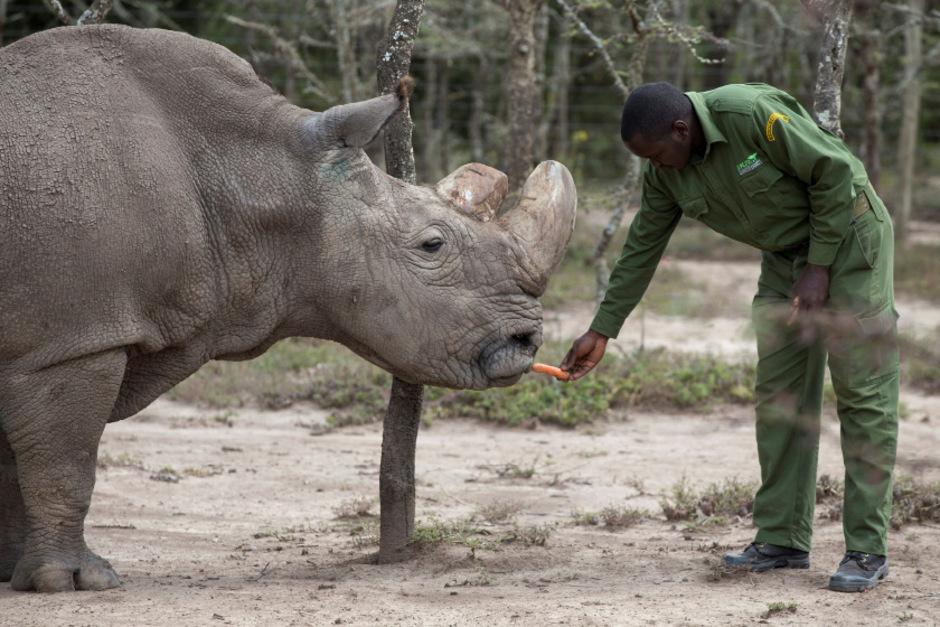 Das letzte Männchen seiner Unterart: Nashorn Sudan ist gestorben ...