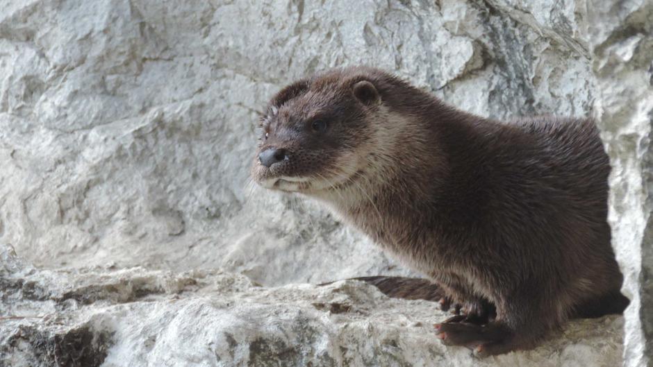Otti wurde als Waiser in Niederösterreich mit der Flasche aufgezogen und darf nun das Fischottergehege im Innsbrucker Alpenzoo sein neues Zuhause nennen.
