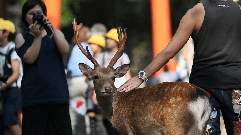 Die Touristen kommen vor allem in die japanische Stadt Nara, um die Rehe zu streicheln und zu füttern.