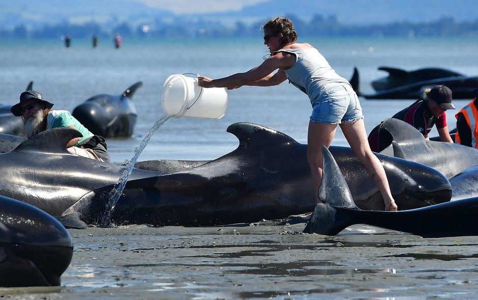 Erst im Vorjahr waren 300 Wale in Neuseeland gestrandet.