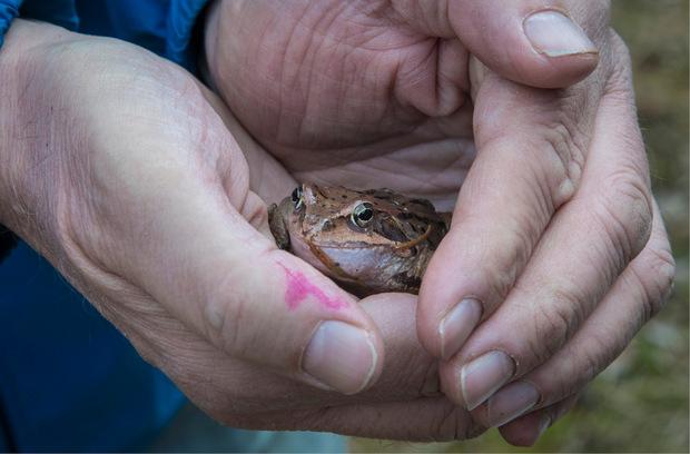 Größenvergleich: Ein Grasfrosch in den Händen von Naturschützer Toni Kuen. Über 2000 Tiere hat er dieses Jahr im Sellraintal über die Straße gebracht.
