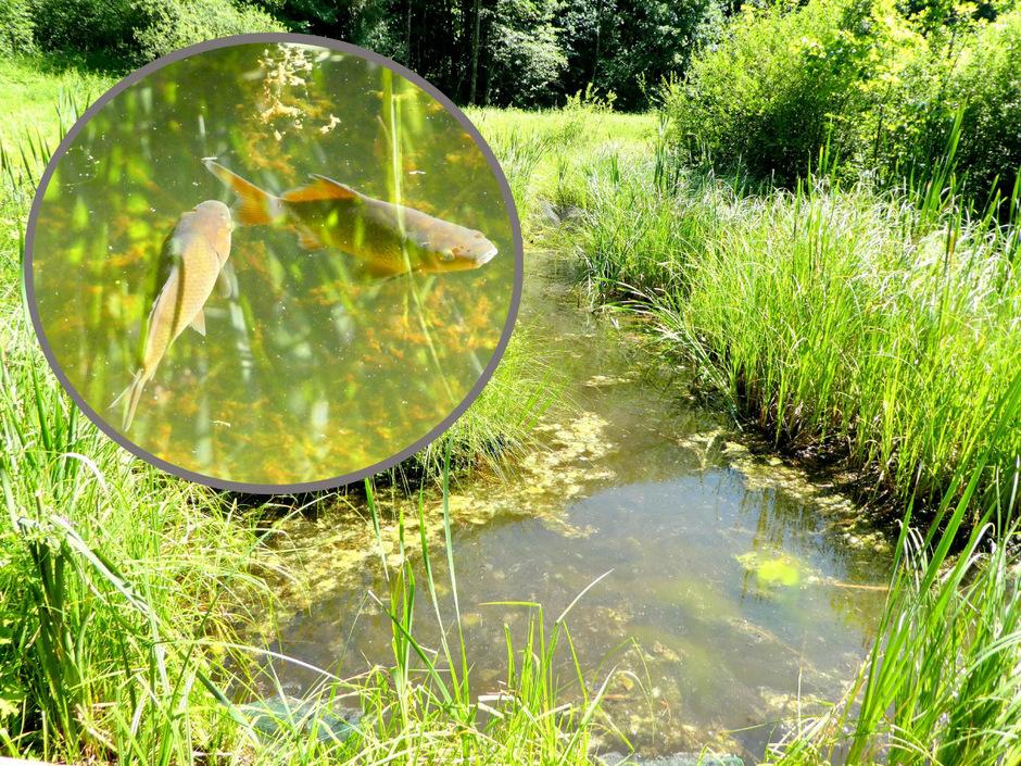 Die Wörgler Filz ist in Gefahr: Ausgesetzte Goldfische bringen das Ökosystem ins Wanken und bedrohen zahlreiche heimische Fisch- und Insektenarten, die in dem Schutzgebiet leben.