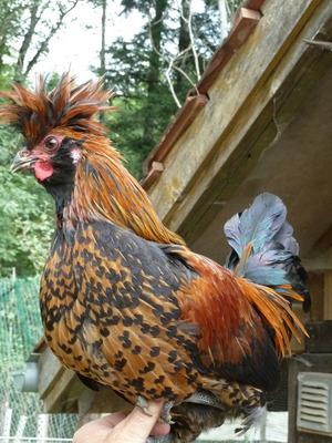 Eine Erfolgsgeschichte ist bereits das Tirolerhuhn, hier mit einem Hahn im Bild.