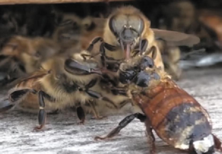 Die Biene wurde von ihren Kolleginnen aus ihrer misslichen Lage befreit.