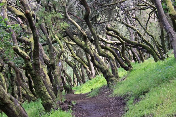 So sieht der Märchenwald im Nationalpark Garajonay aus.