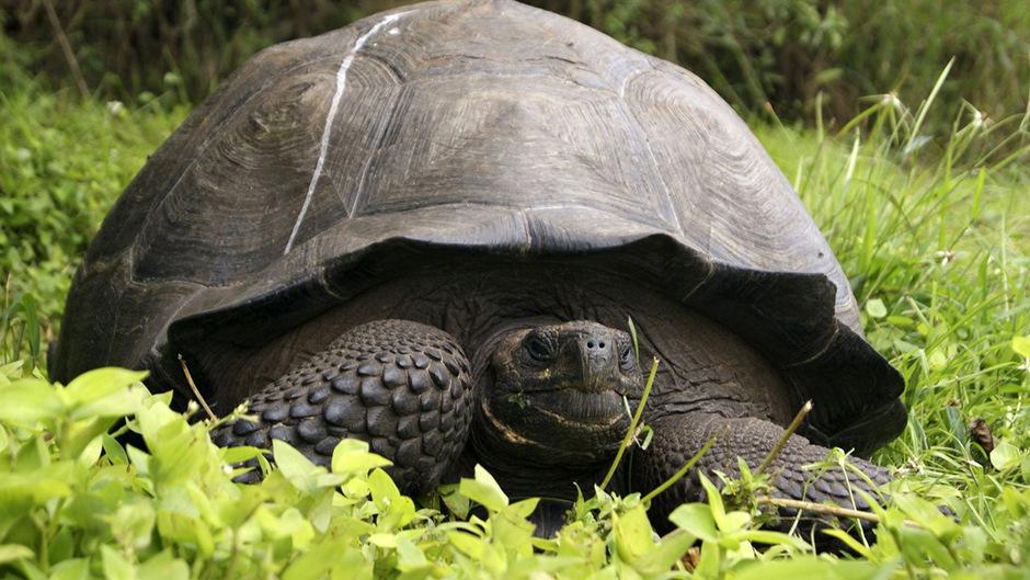 Riesenschildkröte auf den Galapgos-Inseln.
