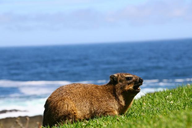 Die Klippschliefer, XXL-Meerschweinchen, sonnen sich an der Küste.