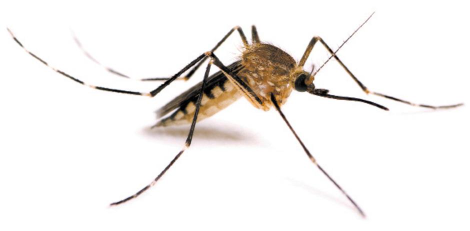 Das West-Nil-Virus ist von Mücken übertragbar. (Archivbild)