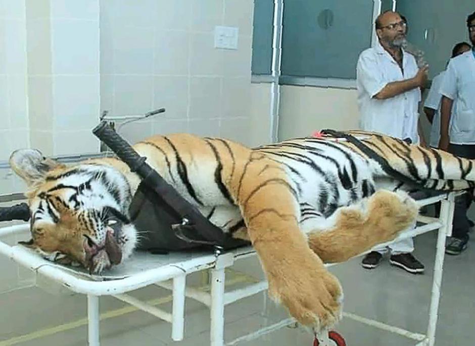 """Erst am Wochenende war eine Tigerin namens """"Avni"""" getötet worden, weil sie mehr als ein Dutzend Menschen zerfleischt haben soll."""