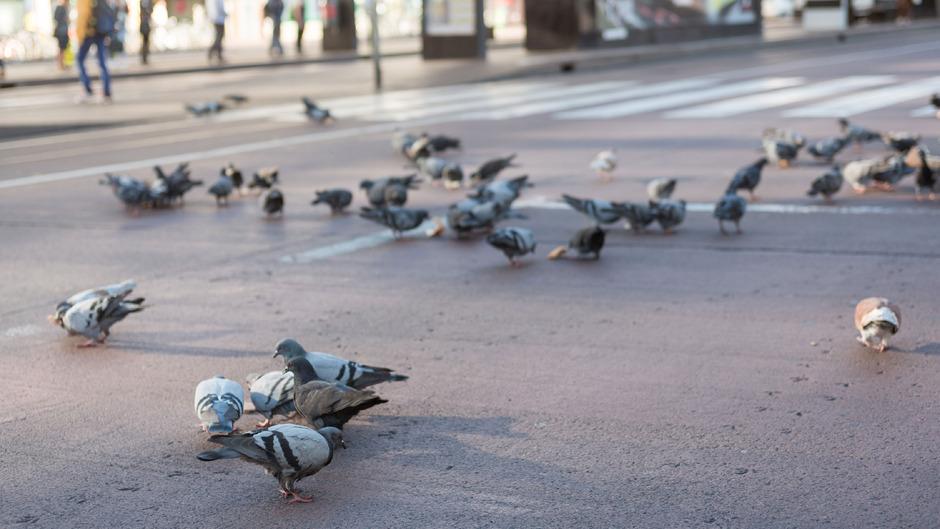 Bereits seit einigen Jahren ist das Füttern von Tauben im Innsbrucker Stadtgebiet verboten.