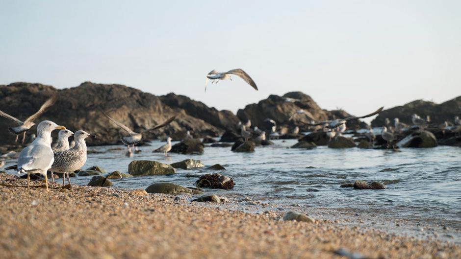 Möwen am Strand von Matosinhos.