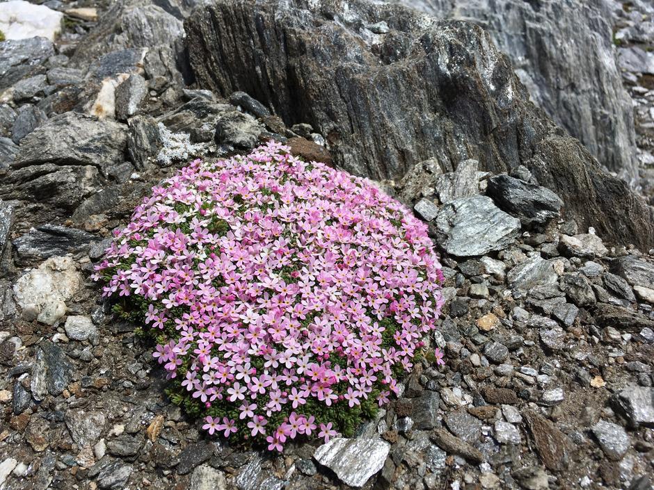 Klimawandel: Alpine Arten unter Druck