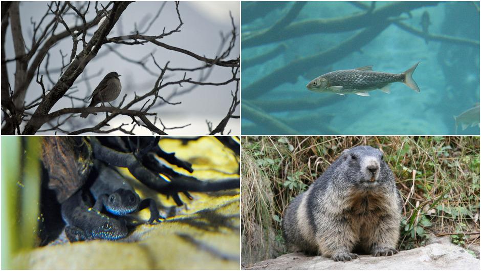 Während Vögel, Fische und Amphibien besonders vom Artenschwund betroffen sind, ist der Bestand der großen und kleinen Säugetiere in Tirol gesichert. Es gibt gar Rückkehrer. (Symbolfotos: Böhm (2)/TT, Murauer/Alpenzoo Innsbruck)