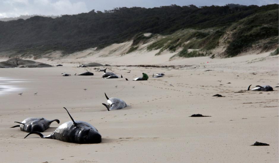 Warum die Wale strandeten, ist noch unklar.