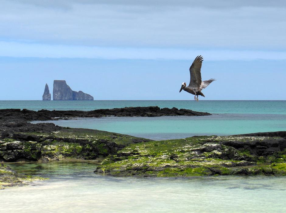 Ein Pelikan fliegt vor der Küste San Cristobals, im Hintergrund der Fels León Dormido.