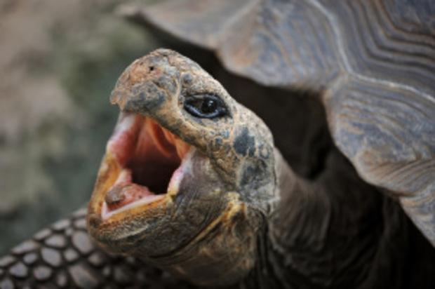 Eine der berühmten Galapagos-Schildkröten.
