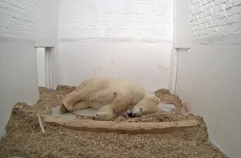 Eisbären-Mutter Tonja mit einem Neugeborenen am 7. Dezember 2017.