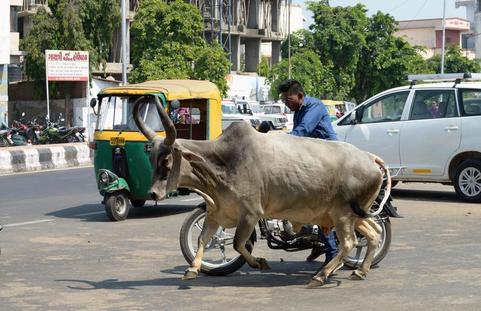 Kühe gelten für viele Inder als heilig (Symbolfoto).