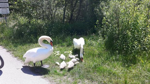 Bei einer Radtour im April entdeckte Peer erstmals die Schwanenfamilie.
