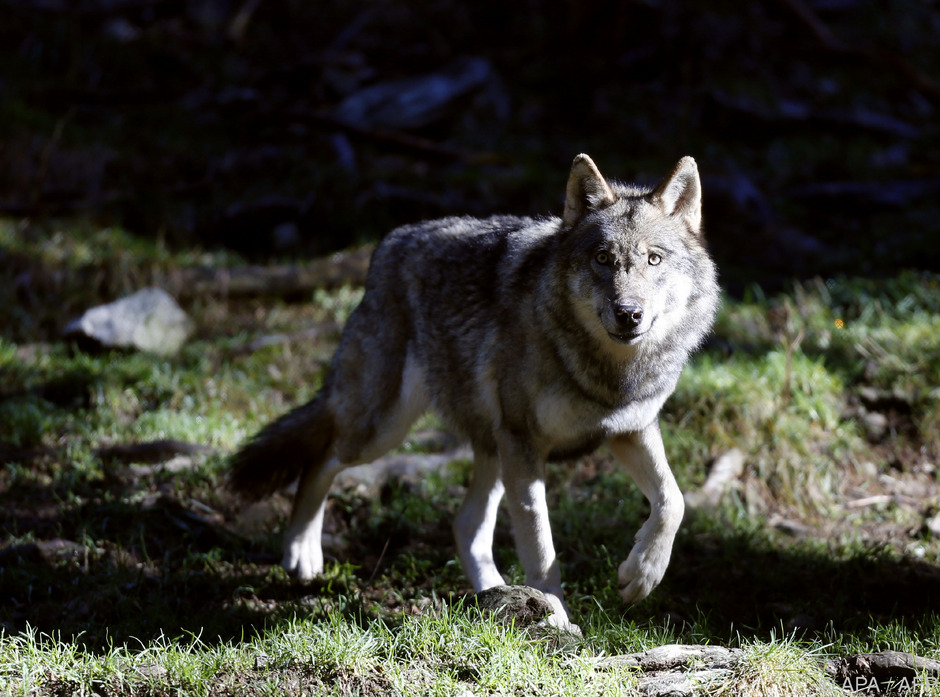 Die Landwirtschaftskammer will, dass der Schutzstatus des Wolfes aufgeweicht wird.