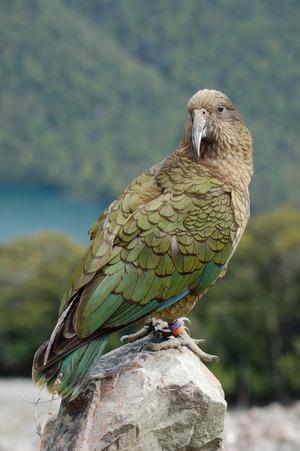 Keas leben in den Bergen der Südinsel Neuseelands und sind streng geschützt.
