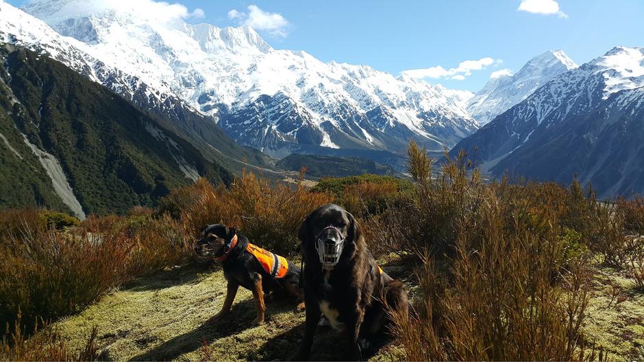 Ajax (r.) und Woody, der auf das Aufspüren nicht heimischer Nagetiere spezialisiert ist, bei ihrer Arbeit im Mount-Cook-Nationalpark.