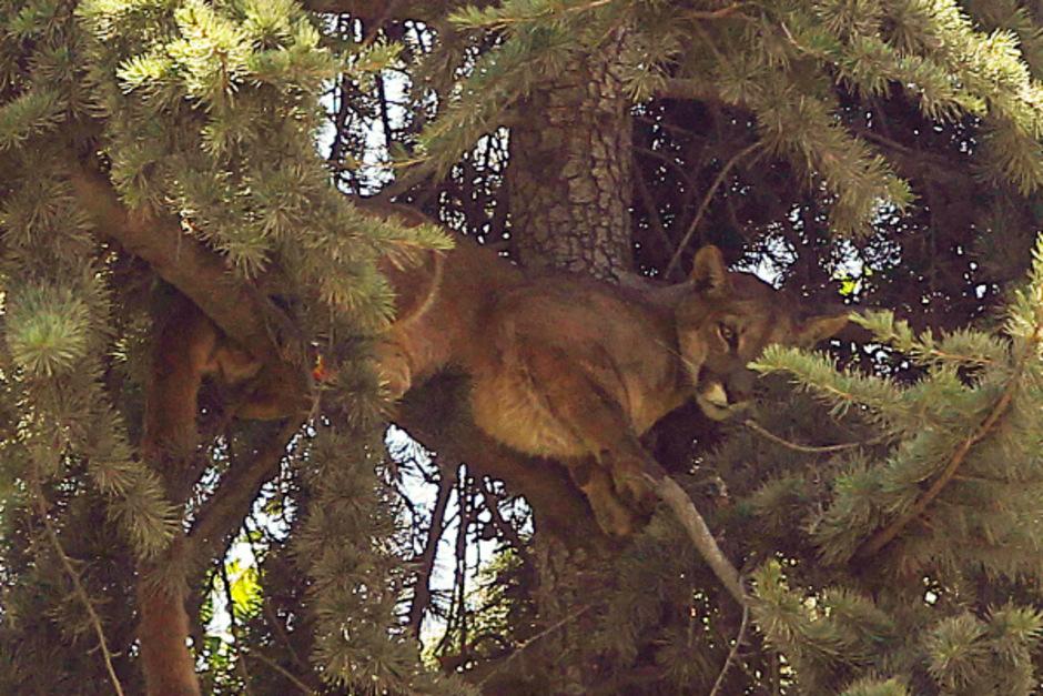 Die Wildkatze verharrte regungslos in dem hohen Baum.