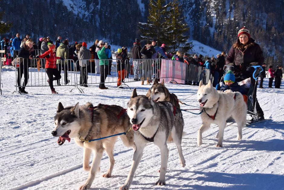 Über 1000 Schlittenhunde trainieren seit dem Wochenende mit ihren Mushern am Pillersee für die Sprint-Meisterschaften.